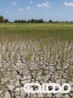بی رحمی خشکسالی به مزارع دیم چرام